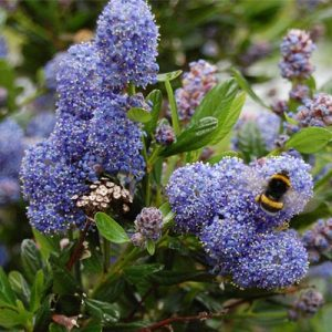 céanothe arbuste fleurs bleues abeille butine