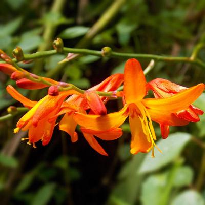 crocosmia floraison orangée