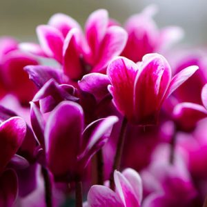 cyclamen fleuri fleurs roses