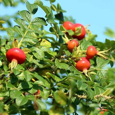 cynorrhodons du rosier du Japon