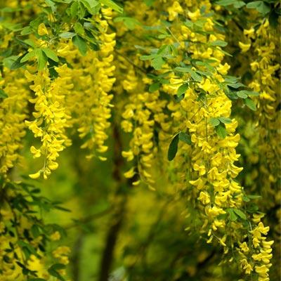 Cytise feuillage fleurs jaunes