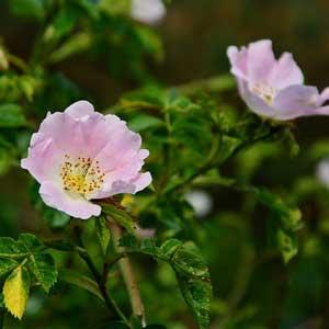 La fleur de l'églantier est également appelée églantine