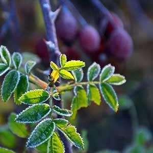 Les feuilles sont composées de 3 à 7 folioles dont une terminale