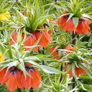 Fritillaires rouges jaunes fleuries