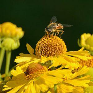 Hélénie Hélénium Insecte Fleurs jaunes