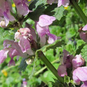 lamier lamium floraison rose