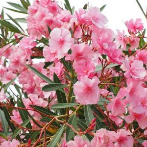 laurier-rose fleurs roses