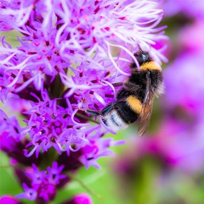 plume du Kansas violet abeille
