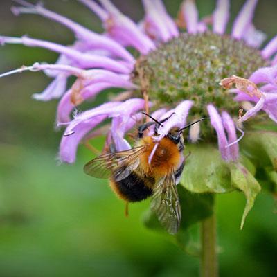 monarde violette abeille