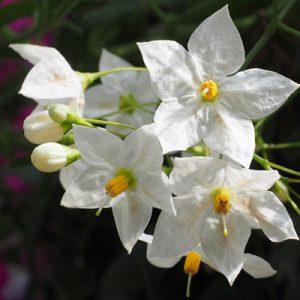morelle solanum fleurs blanches