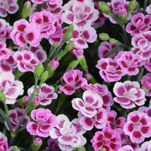œillet fleurs violettes blanches