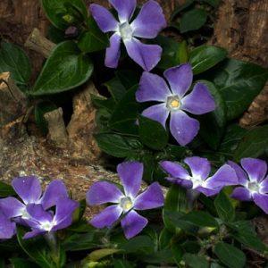 Pervenche fleurs violettes arbre