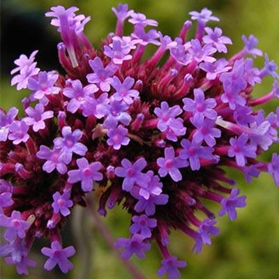 Phyla floraison violette