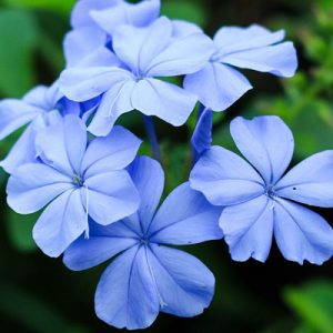 Plumbago fleurs bleues