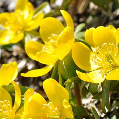 potentilles fleurs jaunes