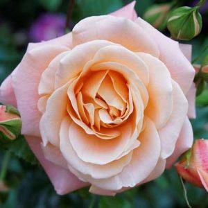 rosier thé