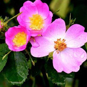 rosiers botaniques anciens