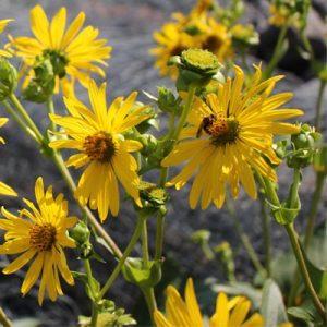 Silphe perfolié floraison jaune