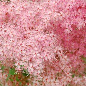 spirée rose spirea