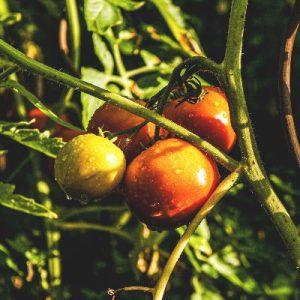 tomates à l'ombre