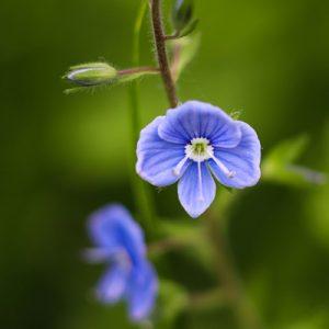 véronique fleur mauve