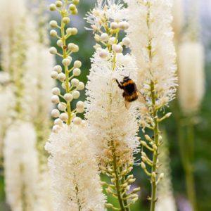 Actée en épis floraison blanche abeille printemps
