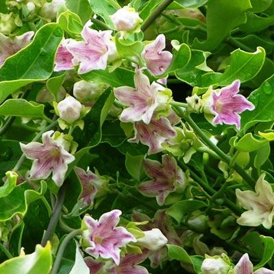 Araujina fleurs roses feuillage vert
