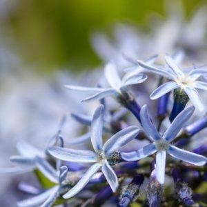 Amsonie Amsonia floraison bleue