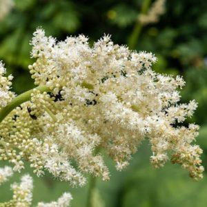 Alstilboïde fleur blanche tige