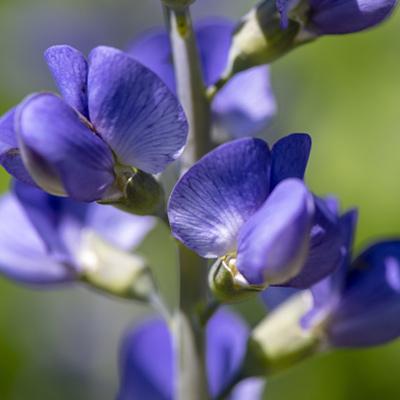 Baptisia faux indigo fleurs violettes