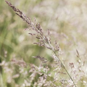 roseau à plumes calamagrostide poacées