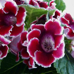 Gloxinia Sinningia speciosa Fleurs rouges