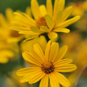 Heliopsis faux-tournesol fleurs jaunes