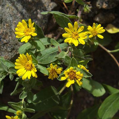 Heterotheca roche floraison jaune été feuillage