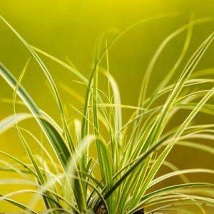 houlque feuillage vert blanc bicolore été soleil verdure herbacées