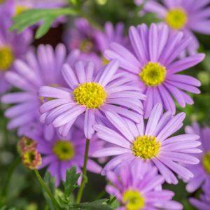 Kaliméris Faux-aster fleurs violettes jardin