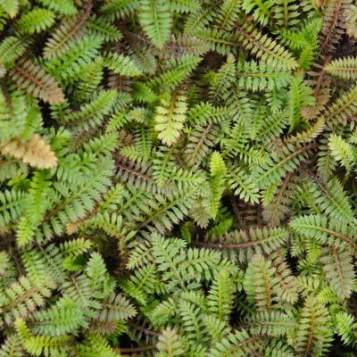 Leptinella Leptinelle Feuillage semi-persistant