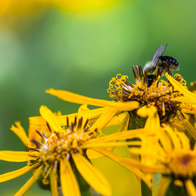 Ligulaire floraison jaune abeille printemps