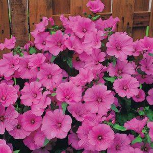 mauve lavatère fleurs roses
