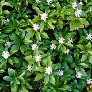 Pachysandre Pachysandra feuillage persistant vert