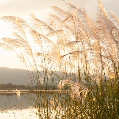 Roseau lac graminées
