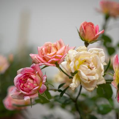 Rosier nain rosier miniature fleurs blanches roses printemps
