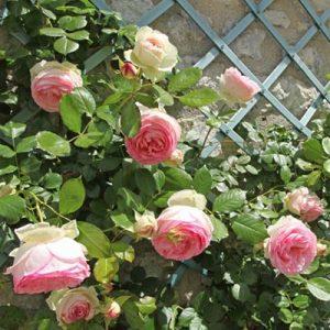 Rosier remontant rosier grimpant rosier liane fleurs roses mur maison