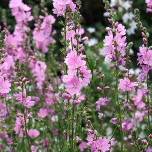 Sidalcée sidalcea fleurs roses