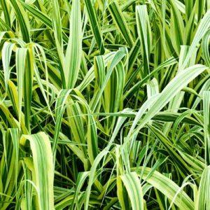 Spartine spartina herbacées feuillage