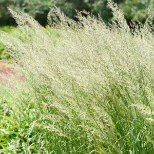 Spodiopogon graminées herbacées