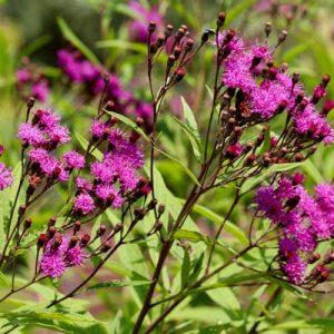 Vernonie vivace floraison automne fleurs violettes