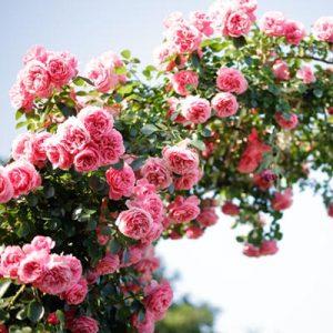 rosier grimpant fleurs roses ciel été