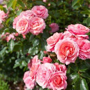 Rosier polyantha rose fleurs roses feuillages massif