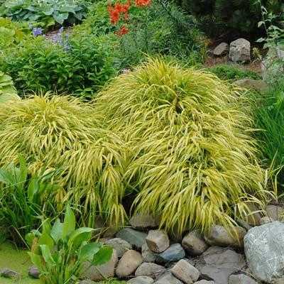 Herbe du Japon Hakonechloa macra Graminées feuillage vert jardin zen